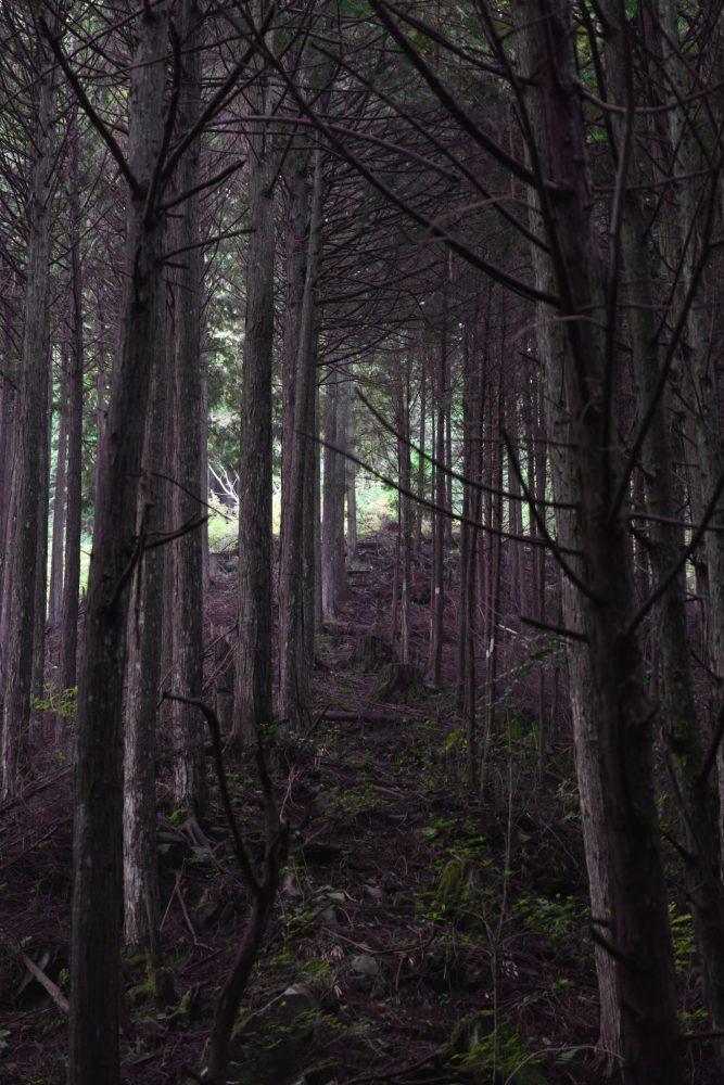 枝打ちされなかった木々。
